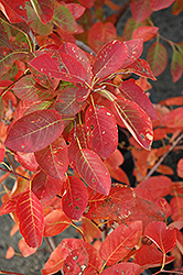 Autumn Brilliance Serviceberry (Amelanchier x grandiflora 'Autumn Brilliance') at Landsburg Landscape Nursery