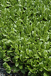 Solomon's Seal (Polygonatum humile) at Landsburg Landscape Nursery