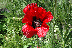 Beauty of Livermere Poppy (Papaver orientale 'Beauty of Livermere') at Landsburg Landscape Nursery