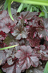 Midnight Rose Coral Bells (Heuchera 'Midnight Rose') at Landsburg Landscape Nursery