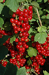 Red Lake Red Currant (Ribes rubrum 'Red Lake') at Landsburg Landscape Nursery