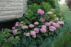 Endless Summer Hydrangea (Hydrangea macrophylla 'Endless Summer') at Landsburg Landscape Nursery