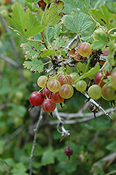Pixwell Gooseberry (Ribes 'Pixwell') at Landsburg Landscape Nursery