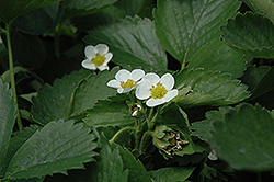 Everbearing Strawberry (Fragaria 'Everbearing') at Landsburg Landscape Nursery