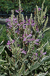 Variegated Obedient Plant (Physostegia virginiana 'Variegata') at Landsburg Landscape Nursery