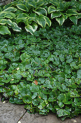 Canadian Wild Ginger (Asarum canadense) at Landsburg Landscape Nursery