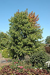 Sienna Glen Maple (Acer x freemanii 'Sienna') at Landsburg Landscape Nursery