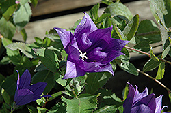 Astra Double Blue Balloon Flower (Platycodon grandiflorus 'Astra Double Blue') at Landsburg Landscape Nursery