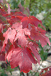 Scarlet Jewel™ Red Maple (Acer rubrum 'Bailcraig') at Landsburg Landscape Nursery