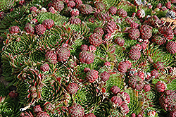 Red Beauty Hens And Chicks (Sempervivum 'Red Beauty') at Landsburg Landscape Nursery