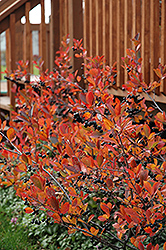 Autumn Magic Black Chokeberry (Aronia melanocarpa 'Autumn Magic') at Landsburg Landscape Nursery