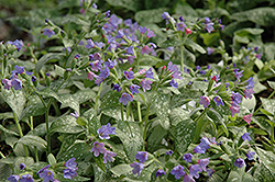 Majeste Lungwort (Pulmonaria 'Majeste') at Landsburg Landscape Nursery