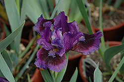 Smart Iris (Iris 'Smart') at Landsburg Landscape Nursery