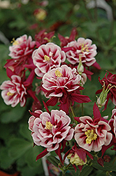 Double Red And White Columbine (Aquilegia vulgaris 'Double Red And White') at Landsburg Landscape Nursery
