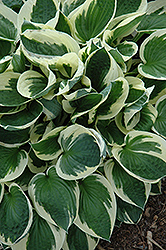 Patriot Hosta (Hosta 'Patriot') at Landsburg Landscape Nursery
