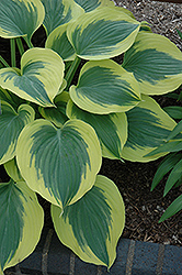 Liberty Hosta (Hosta 'Liberty') at Landsburg Landscape Nursery