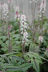 Candy Striper Foamflower (Tiarella 'Candy Striper') at Landsburg Landscape Nursery