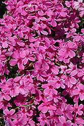 Red Wings Moss Phlox (Phlox subulata 'Red Wings') at Landsburg Landscape Nursery