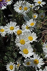 Snow Carpet Marguerite Daisy (Anthemis 'Snow Carpet') at Landsburg Landscape Nursery