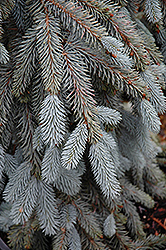 The Blues Colorado Blue Spruce (Picea pungens 'The Blues') at Landsburg Landscape Nursery