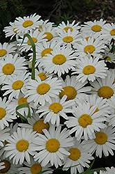 Snow Lady Shasta Daisy (Leucanthemum x superbum 'Snow Lady') at Landsburg Landscape Nursery