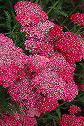 Saucy Seduction Yarrow (Achillea millefolium 'Saucy Seduction') at Landsburg Landscape Nursery