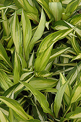 Cherry Berry Hosta (Hosta 'Cherry Berry') at Landsburg Landscape Nursery