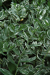 Variegated Solomon's Seal (Polygonatum multiflorum 'Variegatum') at Landsburg Landscape Nursery