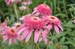 Cone-fections™ Pink Double Delight Coneflower (Echinacea purpurea 'Pink Double Delight') at Landsburg Landscape Nursery