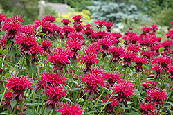 Raspberry Wine Beebalm (Monarda 'Raspberry Wine') at Landsburg Landscape Nursery