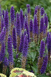 Royal Candles Speedwell (Veronica spicata 'Royal Candles') at Landsburg Landscape Nursery