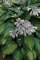 June Hosta (Hosta 'June') at Landsburg Landscape Nursery