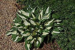 Loyalist Hosta (Hosta 'Loyalist') at Landsburg Landscape Nursery
