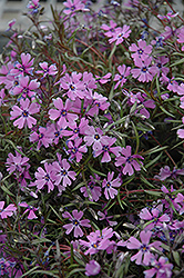 Purple Beauty Moss Phlox (Phlox subulata 'Purple Beauty') at Landsburg Landscape Nursery