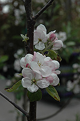 Fireside Apple (Malus 'Fireside') at Landsburg Landscape Nursery