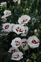 Coconut Surprise Pinks (Dianthus 'YP05 Yves') at Landsburg Landscape Nursery