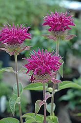 Purple Rooster Beebalm (Monarda 'Purple Rooster') at Landsburg Landscape Nursery