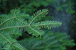 Balsam Fir (Abies balsamea) at Landsburg Landscape Nursery