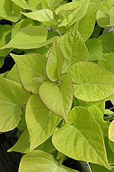 Sweetheart Light Green Sweet Potato Vine (Ipomoea batatas 'Sweetheart Light Green') at Landsburg Landscape Nursery