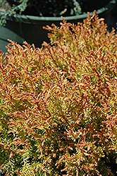 Fire Chief™ Arborvitae (Thuja occidentalis 'Congabe') at Landsburg Landscape Nursery