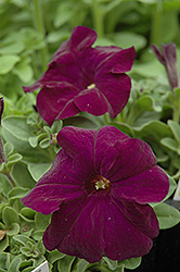 Dreams Midnight Petunia (Petunia 'Dreams Midnight') at Landsburg Landscape Nursery