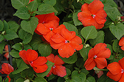 Super Elfin® Bright Orange Impatiens (Impatiens walleriana 'Super Elfin Bright Orange') at Landsburg Landscape Nursery