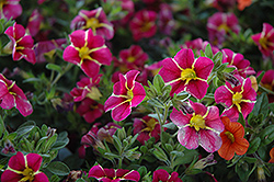 Superbells® Cherry Star Calibrachoa (Calibrachoa 'Superbells Cherry Star') at Landsburg Landscape Nursery
