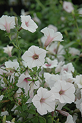 Supertunia Vista® Silverberry Petunia (Petunia 'Supertunia Vista Silverberry') at Landsburg Landscape Nursery