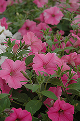Supertunia Vista® Bubblegum Petunia (Petunia 'Supertunia Vista Bubblegum') at Landsburg Landscape Nursery