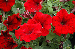Sweetunia Hot Rod Red Petunia (Petunia 'Sweetunia Hot Rod Red') at Landsburg Landscape Nursery