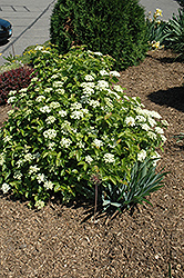 Blue Muffin® Viburnum (Viburnum dentatum 'Christom') at Landsburg Landscape Nursery