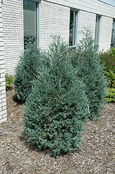 Sky High™ Juniper (Juniperus scopulorum 'Bailigh') at Landsburg Landscape Nursery