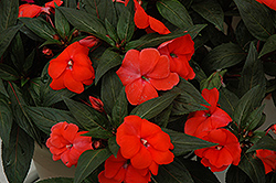 Super Sonic Dark Salmon New Guinea Impatiens (Impatiens hawkeri 'Super Sonic Dark Salmon') at Landsburg Landscape Nursery