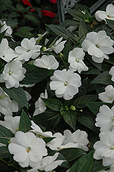 Super Sonic White New Guinea Impatiens (Impatiens hawkeri 'Super Sonic White') at Landsburg Landscape Nursery